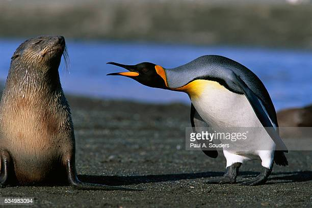 king penguin confronting unconcerned fur seal - king penguin stock pictures, royalty-free photos & images