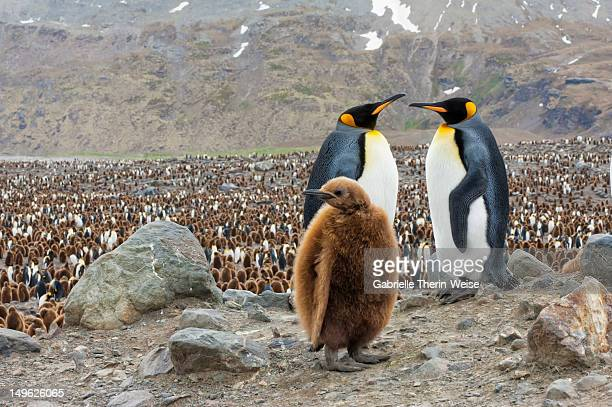 king penguin couple and chick - st andrews bay stock pictures, royalty-free photos & images