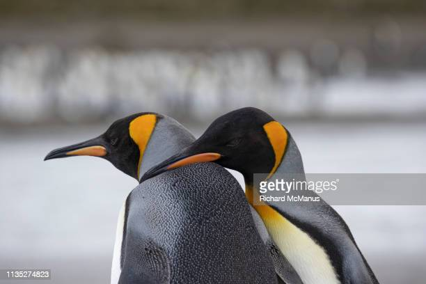 king penguin couple at salisbury plain - koningspinguïn stockfoto's en -beelden