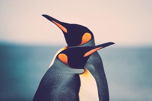 King Penguin couple 1160901945