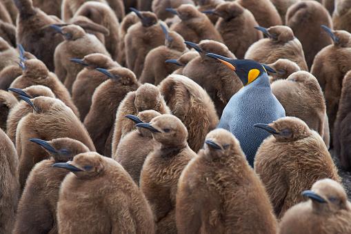 King Penguin Creche 504247348