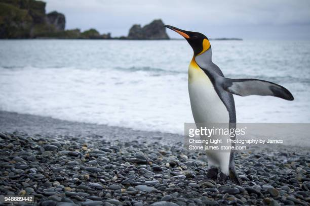 king penguin exiting the water - koningspinguïn stockfoto's en -beelden