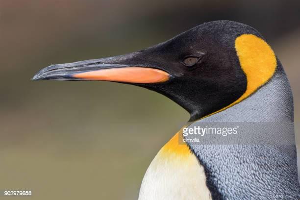 könig pinguin kopf hautnah - königspinguin stock-fotos und bilder