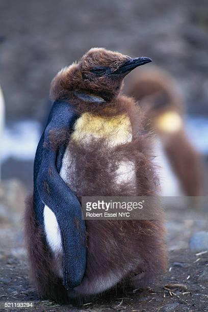 king penguin molting - koningspinguïn stockfoto's en -beelden