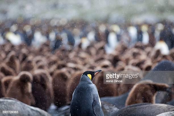 A king penguin observing a Rookery