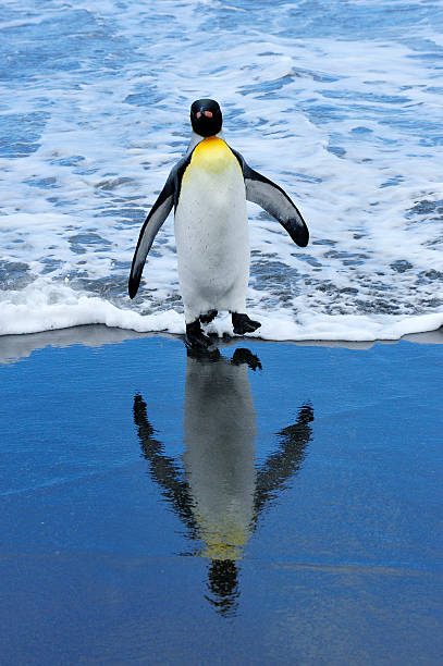 King Penguin on beach