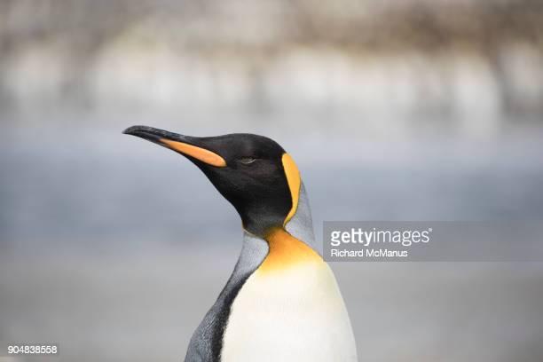 King Penguin on Salisbury Plain.