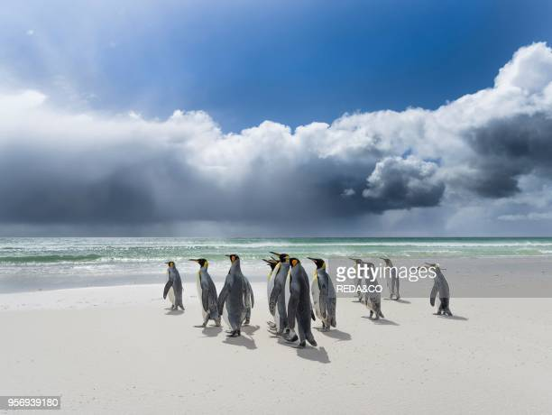 King Penguin on the Falkand Islands in the South Atlantic Group of penguins on sandy beach during storm thunderstorm clouds in the background South...