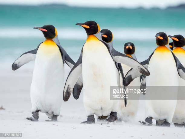 King Penguin on the Falkland Islands in the South Atlantic, South America, Falkland Islands, January.