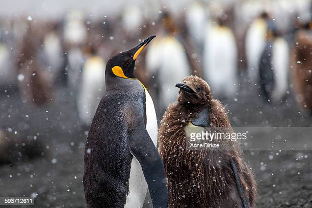 king penguin parent and baby - royal penguin stock pictures, royalty-free photos & images