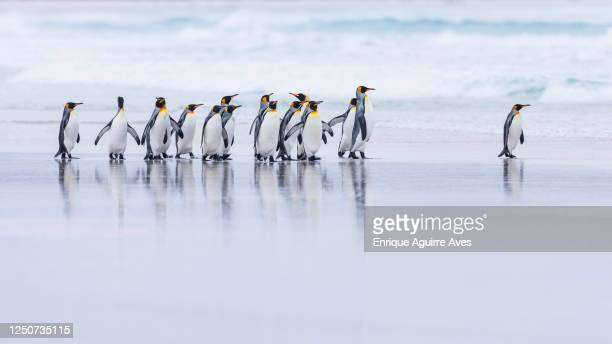 king penguin (aptenodytes patagonicus) - king penguin stock pictures, royalty-free photos & images