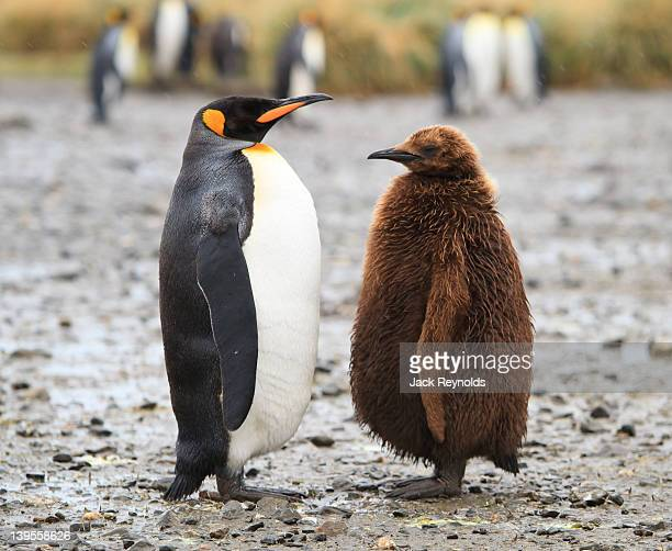king penguin - animal family stock pictures, royalty-free photos & images