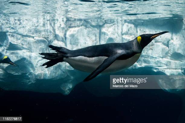 A king penguin pictured in its enclosure at Faunia zoo park while eating a fish during the first day of a heat wave The city of Madrid has activated...