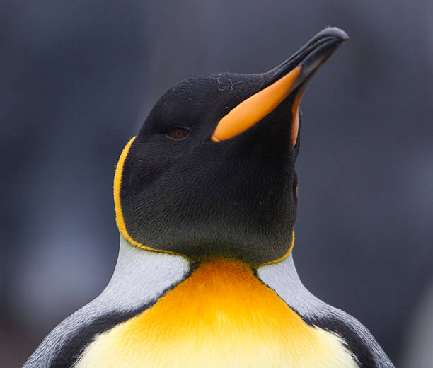 King Penguin portrait.