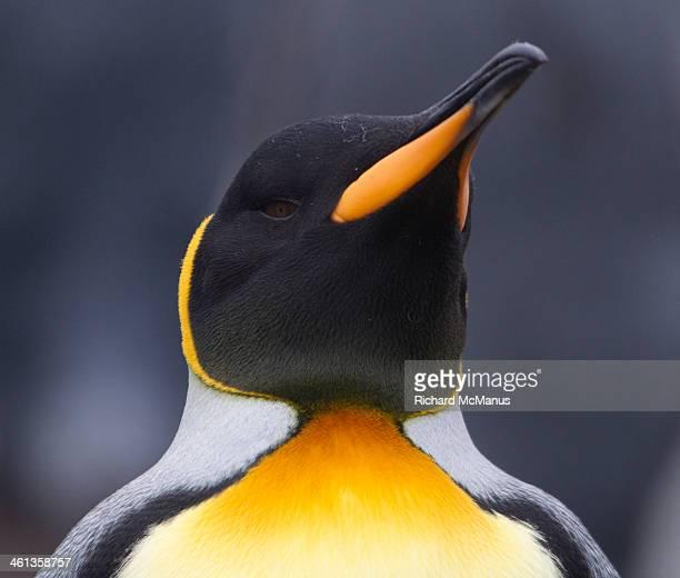 king penguin portrait. - royal penguin stock pictures, royalty-free photos & images