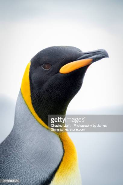 king penguin portrait - royal penguin stock pictures, royalty-free photos & images