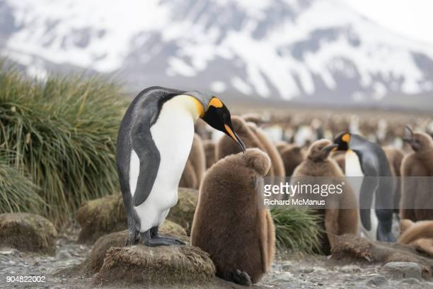King Penguin preening juvenile in rookery.