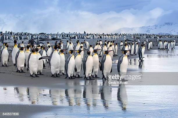 king penguin reflections at salisbury plain on south georgia - king penguin stock pictures, royalty-free photos & images