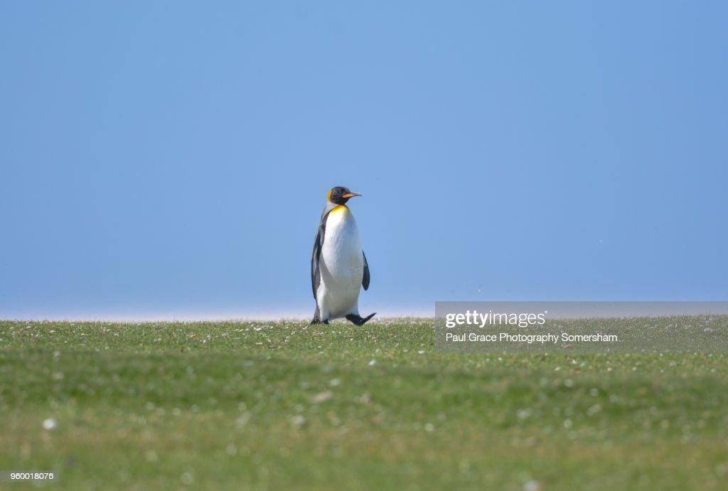 King Penguin resting, Volunteer Point, East Falkland, Falkland Islands. : Stock-Foto