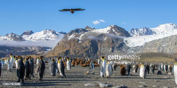 king penguin rookery - rookery stock pictures, royalty-free photos & images