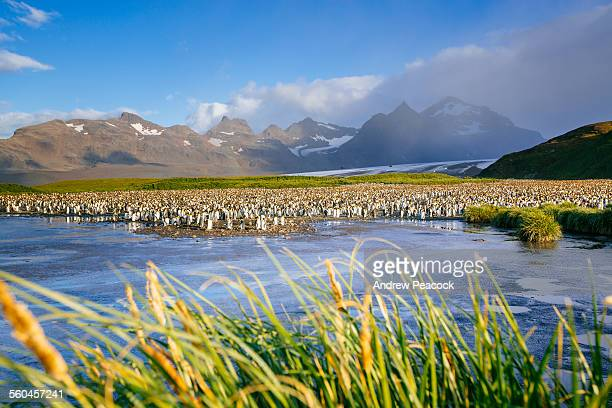 king penguin rookery, salisbury plain - rookery stock pictures, royalty-free photos & images