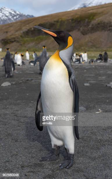King penguin standing at St Andrews Bay South Georgia