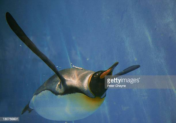king penguin, swimming, looking up - royal penguin stock pictures, royalty-free photos & images