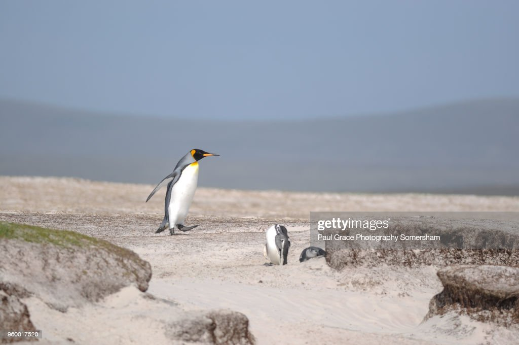 King Penguin, Volunteer Point, East Falkland, Falkland Islands. : Stockfoto