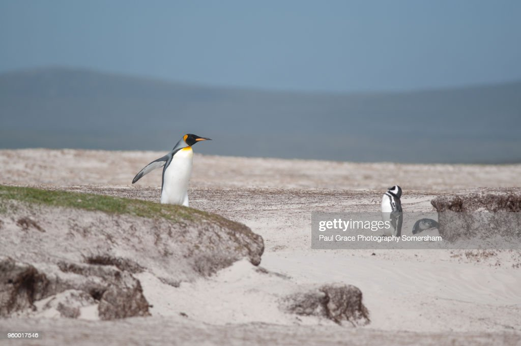 King Penguin, Volunteer Point, East Falkland, Falkland Islands. : Stock-Foto