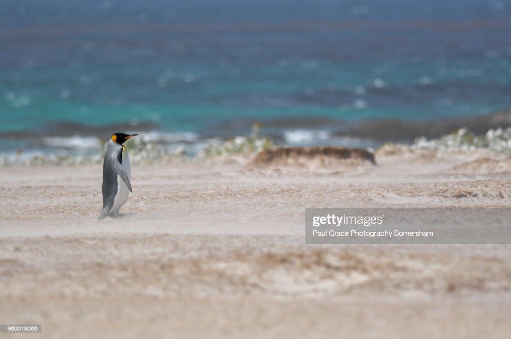 King Penguin, Volunteer Point, East Falkland, Falkland Islands. : Stock-Foto