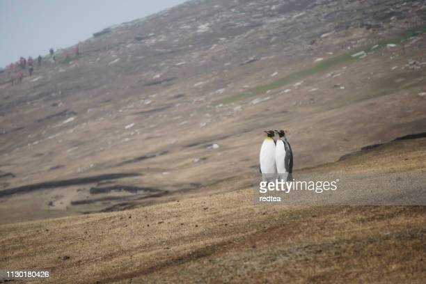 king penguin walking on a sandy beach - rookery stock pictures, royalty-free photos & images