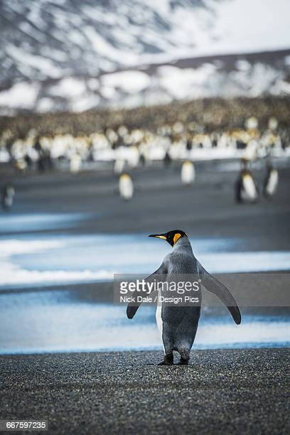king penguin (aptenodytes patagonicus) walking on beach towards rookery - rookery stock pictures, royalty-free photos & images