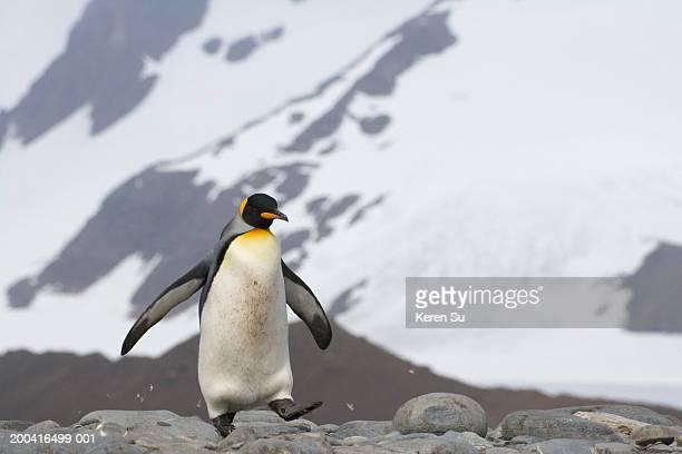 King Penguin (Aptenodytes patagonicus) walking on ice