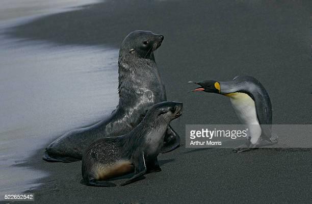 King Penguin Warning Seals
