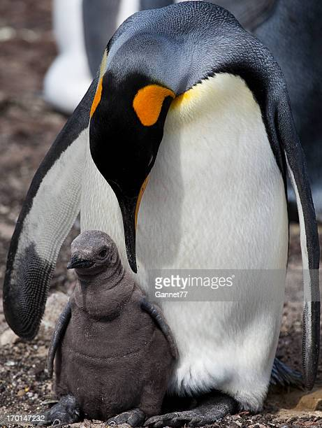 King Penguin with chick, Falkland Islands