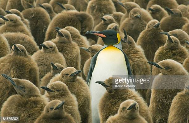 king penguin with chicks - gegensatz stock-fotos und bilder