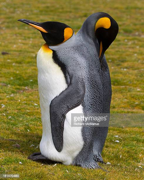 King Penguin with two heads.