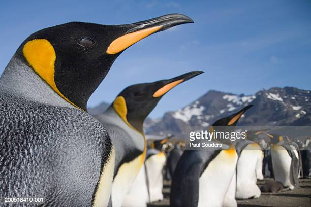 king penguins (aptenodytes patagonicus) along shoreline in rookery - rookery stock pictures, royalty-free photos & images