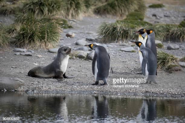 King Penguins and Fur seal Salisbury Plain beside a lagoon.