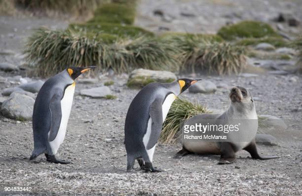King Penguins and Fur seal Salisbury Plain.