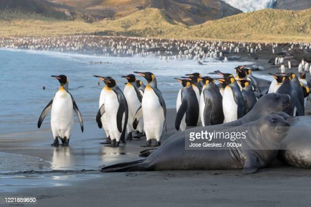 king penguins(aptenodytes patagonicus) andelephant seals(mirounga leonina) on beach - royal penguin stock pictures, royalty-free photos & images