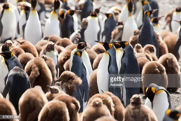 King penguins Aptenodytes patagonicus crche Macquarie Island Sub Antarctic administered by Tasmania Australia