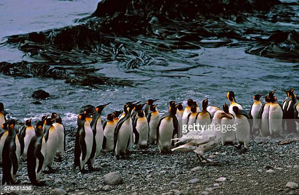King penguins Aptenodytes patagonicus group all looking at Southern giantpetrel Macronectes giganteus defending their territory Macquarie Island...