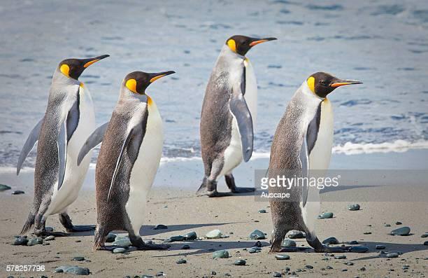 King penguins Aptenodytes patagonicus group of four walking on the beach Macquarie Island Sub Antarctic administered by Tasmania Australia
