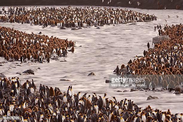 penguins aptenodytes patagonicus mit king-size-bett in einem vogel-kolonie in southampton - falklandinseln stock-fotos und bilder