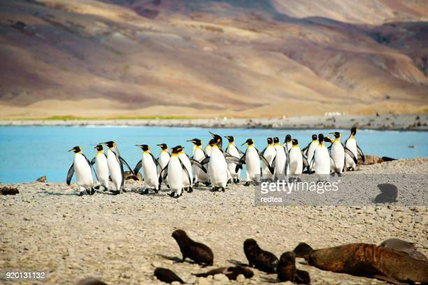 king penguins at beach south georgia - royal penguin stock pictures, royalty-free photos & images