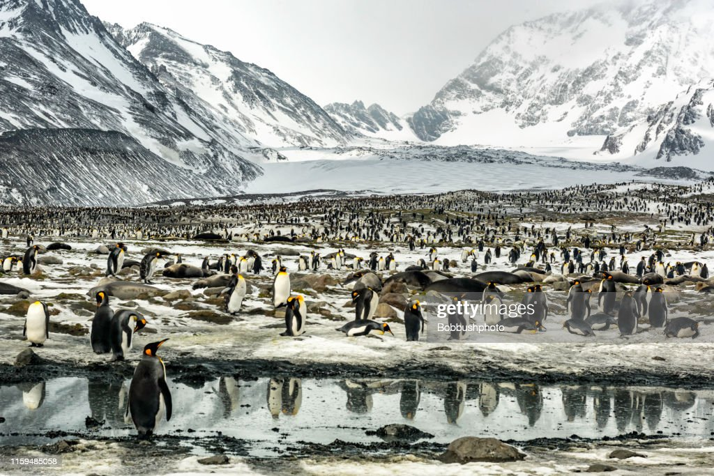 King Penguins at St. Andrews Bay in South Georgia Island : Stock Photo