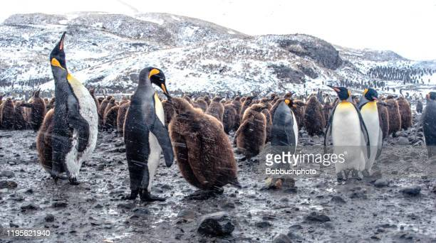 king penguins in st. andrews bay op south georgia island - zuid georgia eiland stockfoto's en -beelden