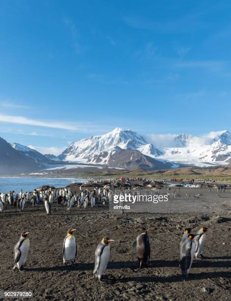 koning penguins in st andrews bay zuid-georgië - koningspinguïn stockfoto's en -beelden