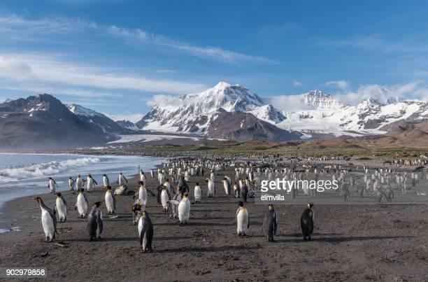 King Penguins at St Andrews Bay South Georgia